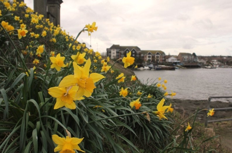 daffodils in Riverside Park, Southampton
